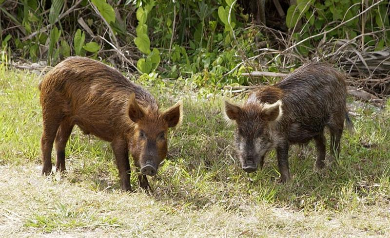 Wild boars can pass exotic diseases to the domestic pig population