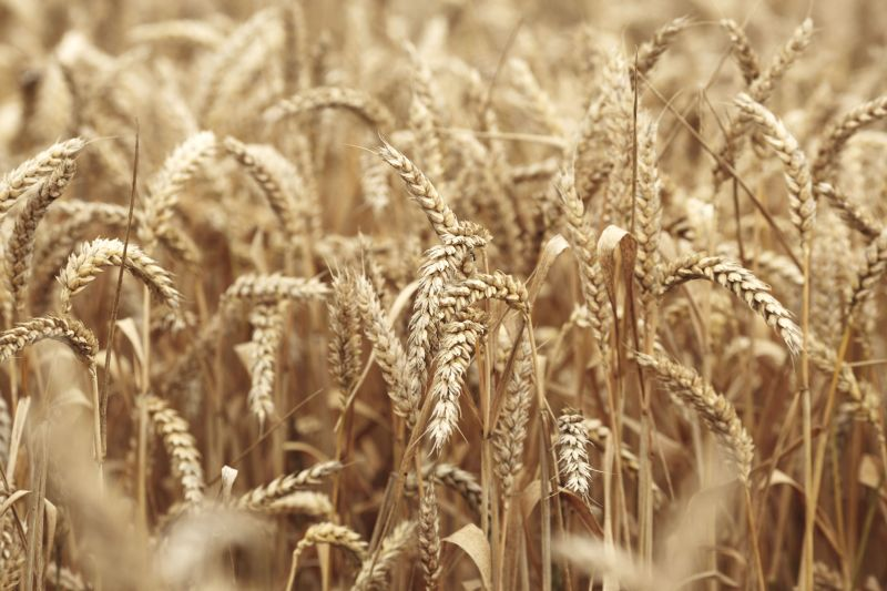 The current percentage of homegrown wheat milled has doubled that of forty years ago