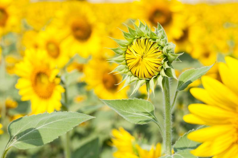The active substance aclonifen is authorised for use on a range of crops, including sunflowers, in the rest of Europe