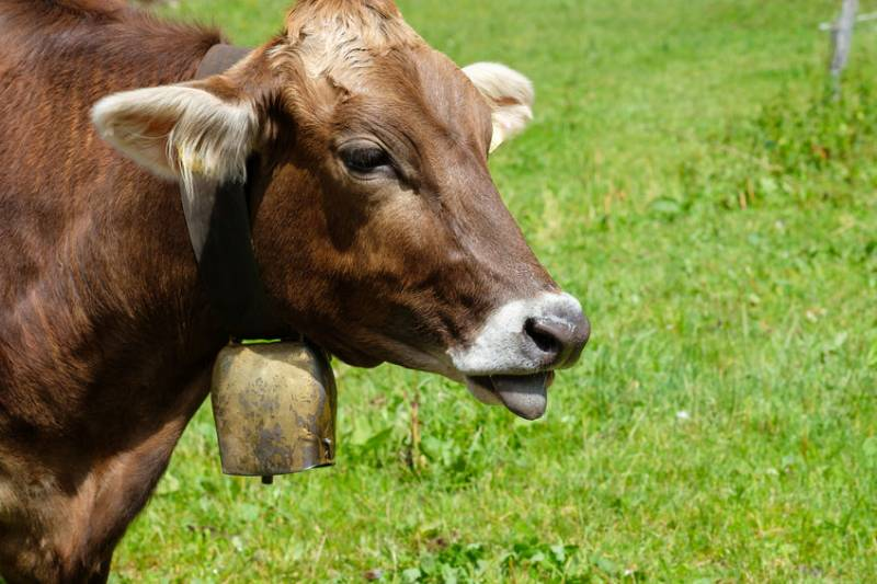 A German couple have lost their fight, again, over the nearby cow bell noise