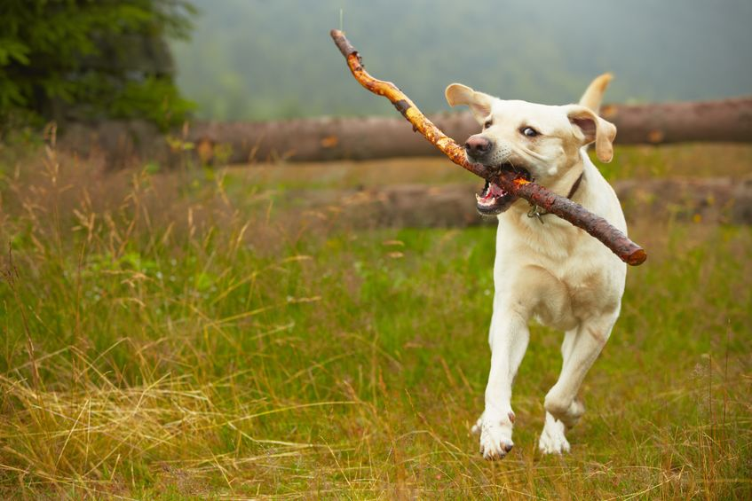 Six percent of dog owners admit their pet has chased livestock