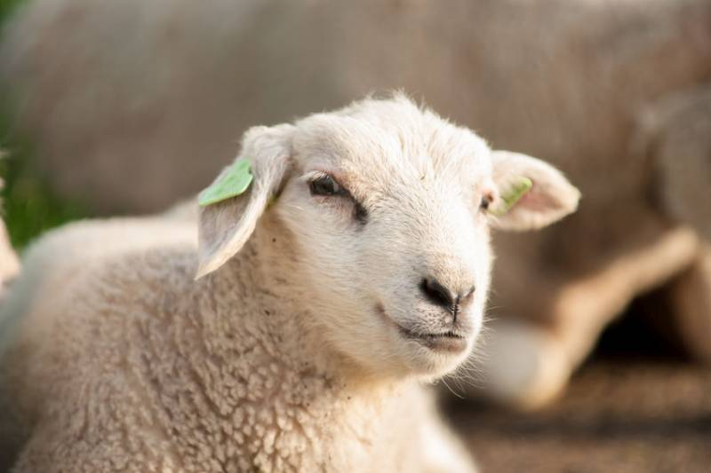 Each sheep is valued at £95, bringing the total loss to over £20,000