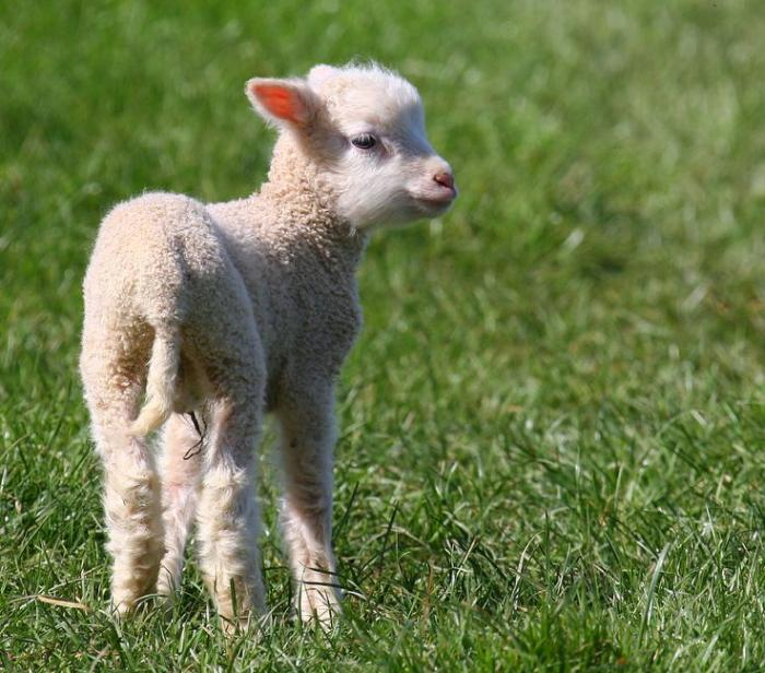 Police have asked rural communities to be vigilant following recent sheep deaths across the UK