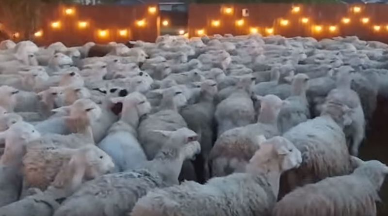 Two-hundred sheep invaded Scott Russo and his family's home for around five minutes (Photo: YouTube/ScottRusso)