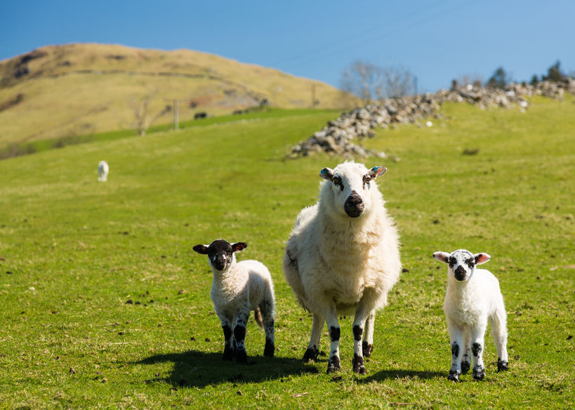 Some UK areas now at 'high' or 'very high' nematodirus risk levels for lambs
