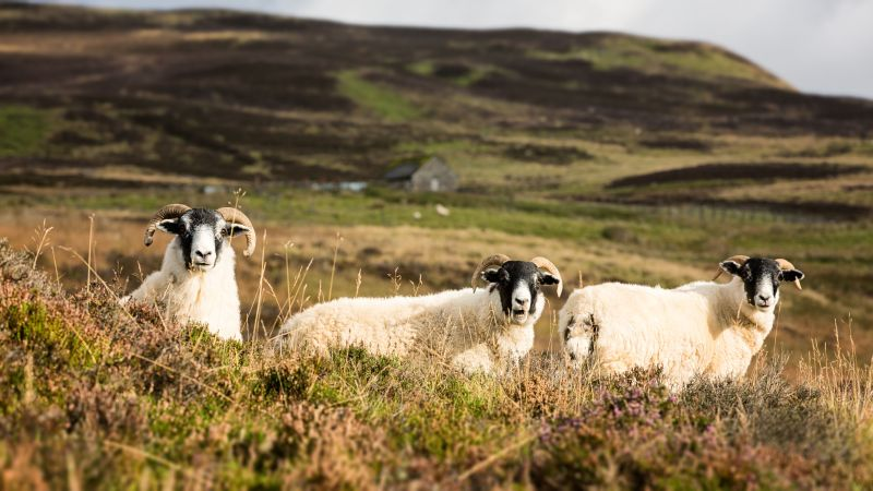 Thirty Scottish blackface ewes were stolen from the Moray farm