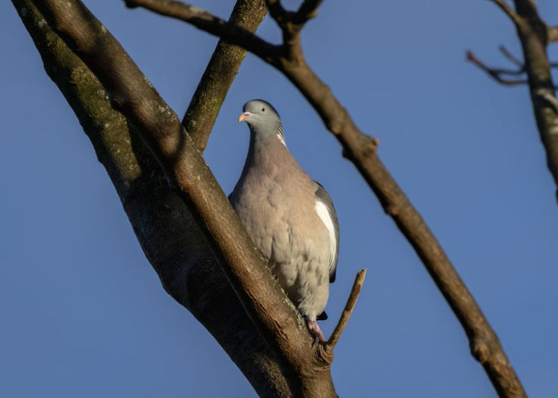 Woodpigeons cause £5m worth of crop damage to oilseed rape alone each year