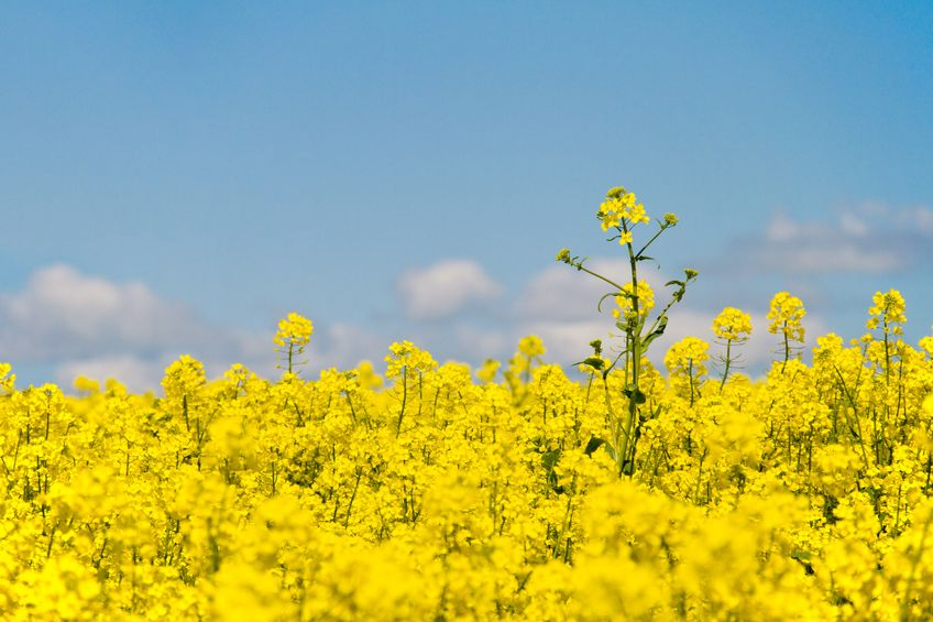 Severely affected OSR plants show decreases in thousand seed weight of between 12% and 24%