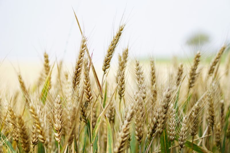 High wheat prices and reduced costs see net profits double for arable farms in the East Midlands