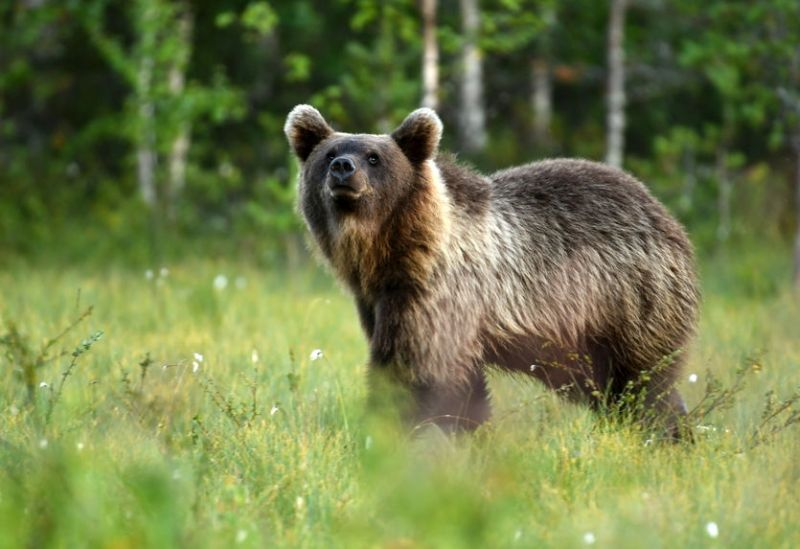 Farmers in France and Spain are concerned with efforts to repopulate the bear population in the Pyrenees