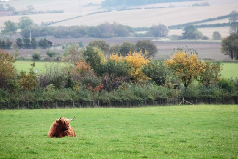 Scottish prime cattle prices see a modest increase