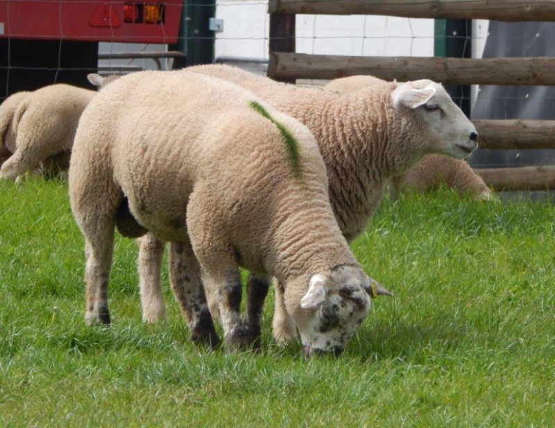 Rams are selected on the basis of their EBVs, which are a direct assessment of their breeding merit for specific traits