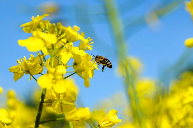 The yield of organic oilseed rape crop is low and variable in organic farming