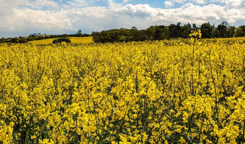 The business case for planting oilseed rape remains strong