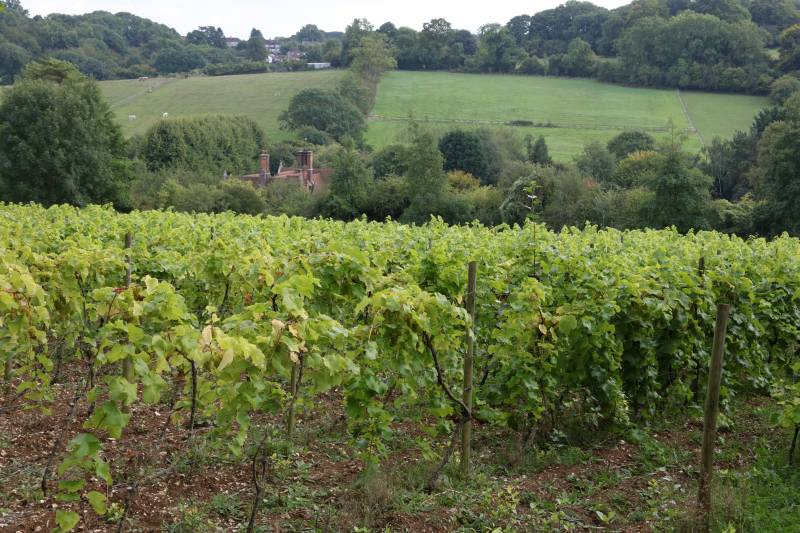 2019 sees a 24% increase in the overall land now under vine (Photo: Frithsden Vineyard, Hertfordshire)