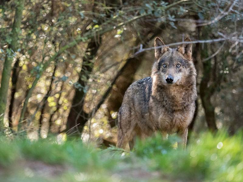 Wolves are typically considered as an enemy to farmers, notorious for carrying out deadly raids against livestock