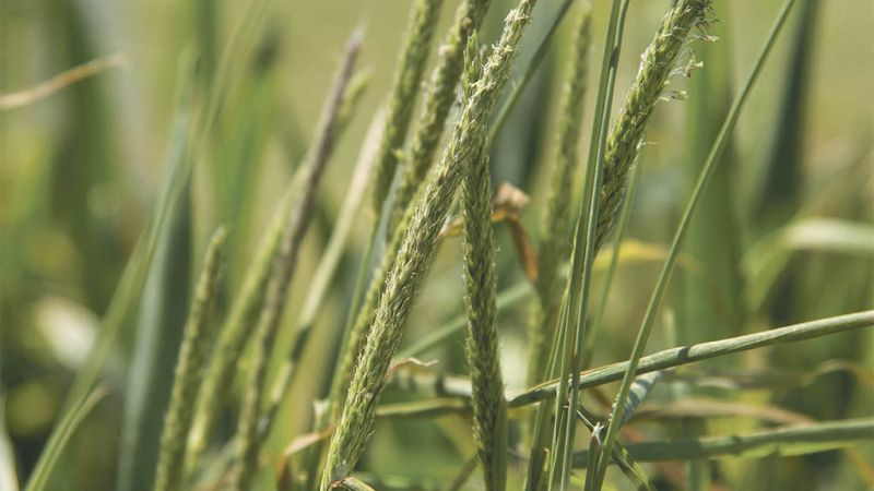 Glyphosate is one of the few herbicides that blackgrass isn't already resistant to
