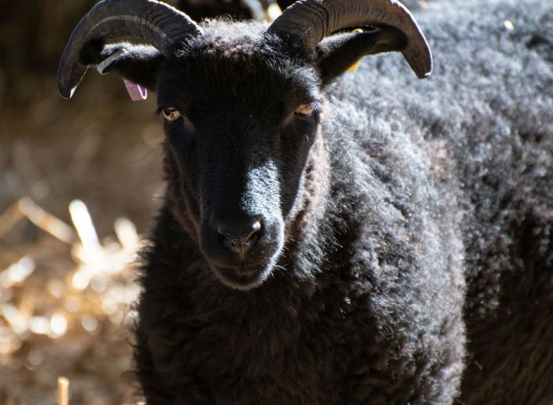 Native sheep are a vital part of the island's economy