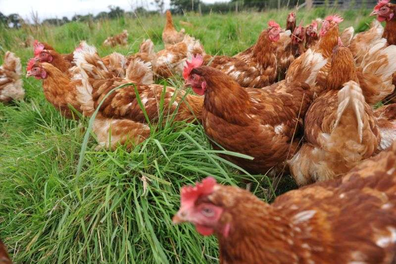 Caution urged around growth in Welsh poultry sector despite strong demand