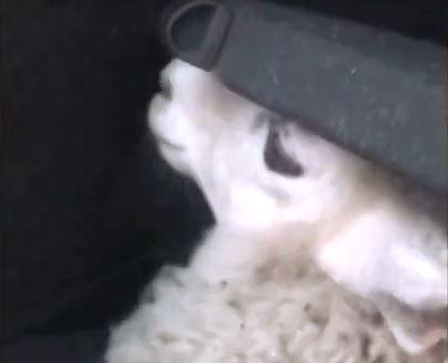 The 23-year-old man released the stolen sheep in Sheffield (Photo: Derbyshire Rural Crime Team)