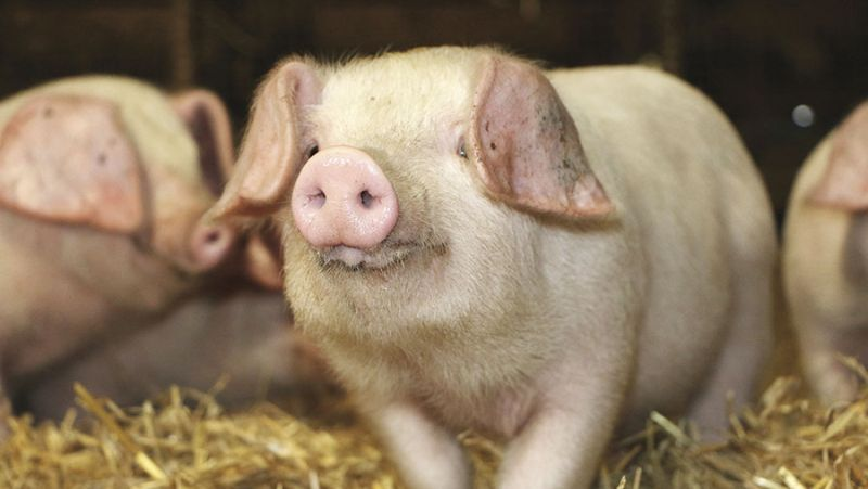The aim of the project is to secure the future of the rare pig breed the British Lop 'forever'