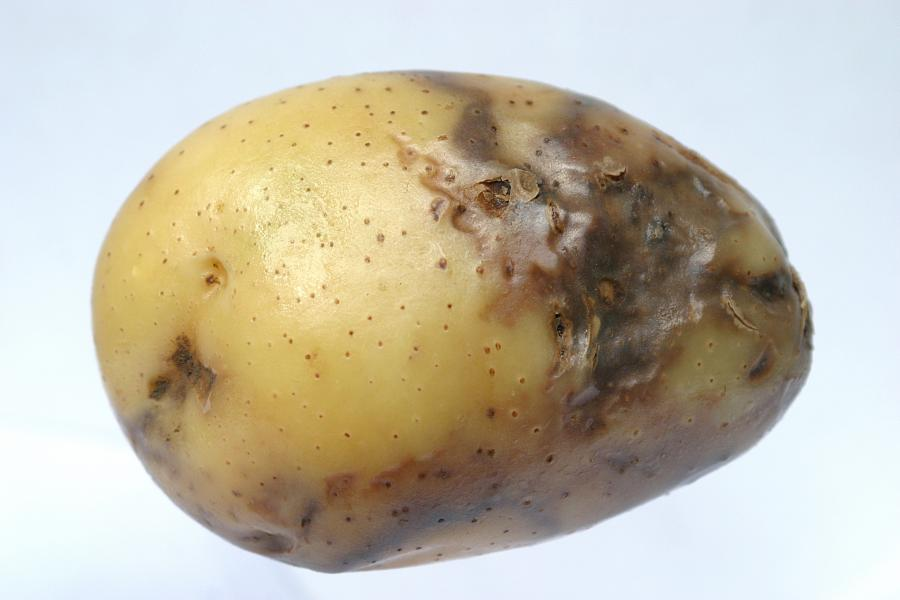 There's been a surge in reports of aggressive potato blight across the UK (Photo: Sutton Bridge CSR/AHDB)