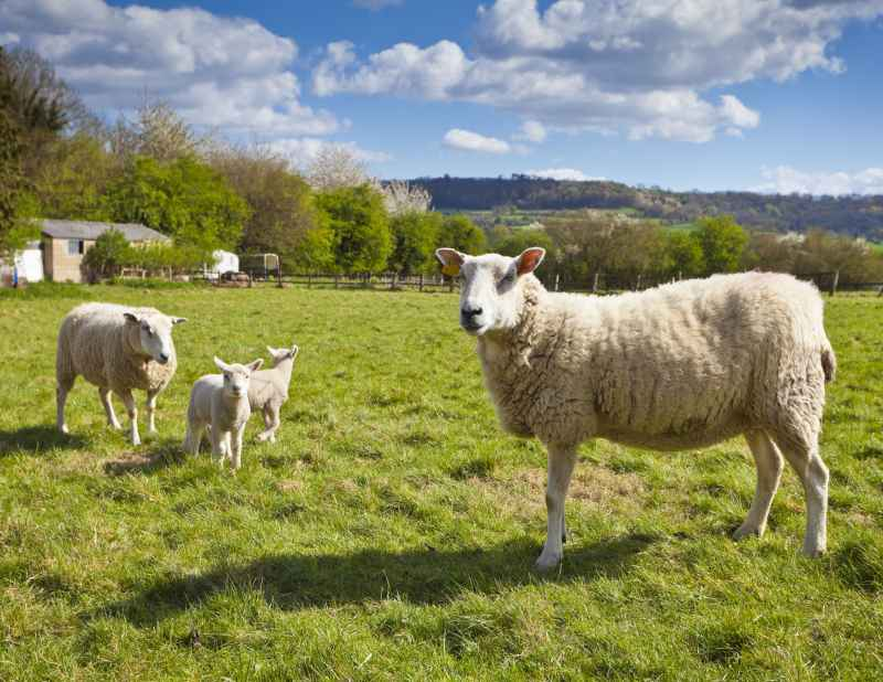 UK sheep farmers have criticised 'misleading media messages'