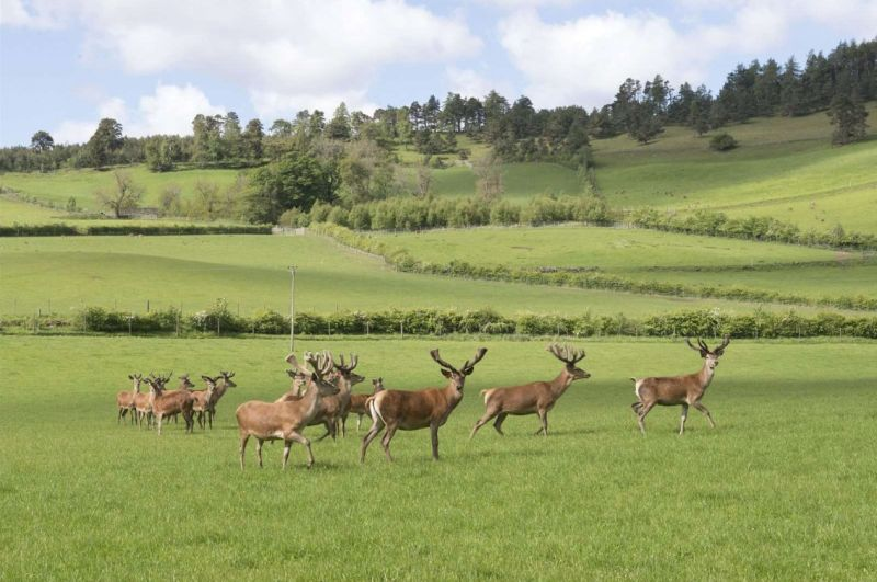 In addition to the deer herd, a flock of 100 Shetland and Shetland/Cheviot ewes are run on land outside the deer farm (Photo: Savills)