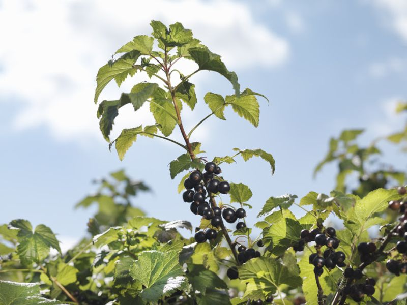 Climate change is making the UK experience warmer winters to the detriment of the British blackcurrant crop