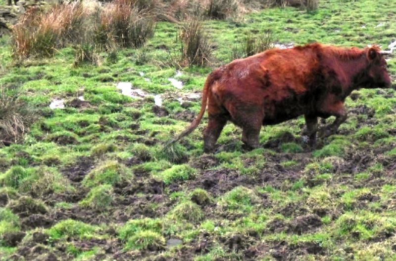 Animal welfare officers said the cows' environment was 'unsuitable' (Photo: Calderdale Council)