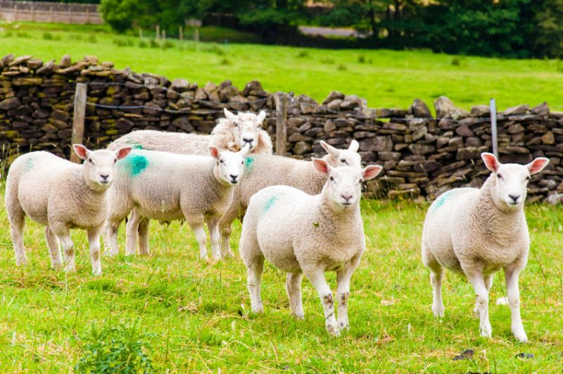 The government has been urged to provide support for sheep farmers before considering a 'radical resort'