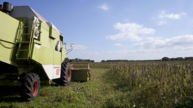 Hemp farmers have started destroying the crop by using a combine harvester (Photo: Hempen)
