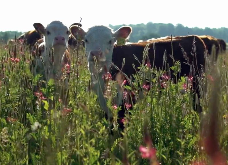 The film highlights the benefits to consumers and the environment of grass-fed meat and dairy