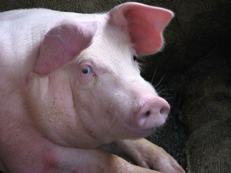 Bulgaria is coming to grips with African swine fever as authorities cull hundreds of thousands of pigs