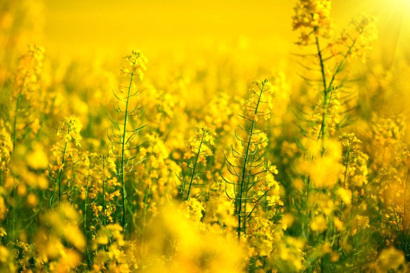The gross margin deficit of winter oilseed rape to winter wheat could narrow significantly for 2019, believes ProCam