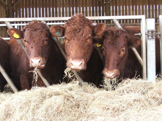 The disease affects both young and adult cattle, and does not respond to some common antibiotics