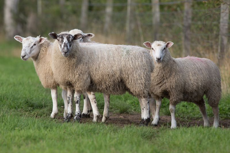 There has been a spike in the number of lambs succumbing to pasteurellosis
