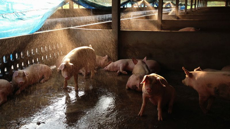Pigs are much more sensitive to heat than other animals because they lack the ability to sweat