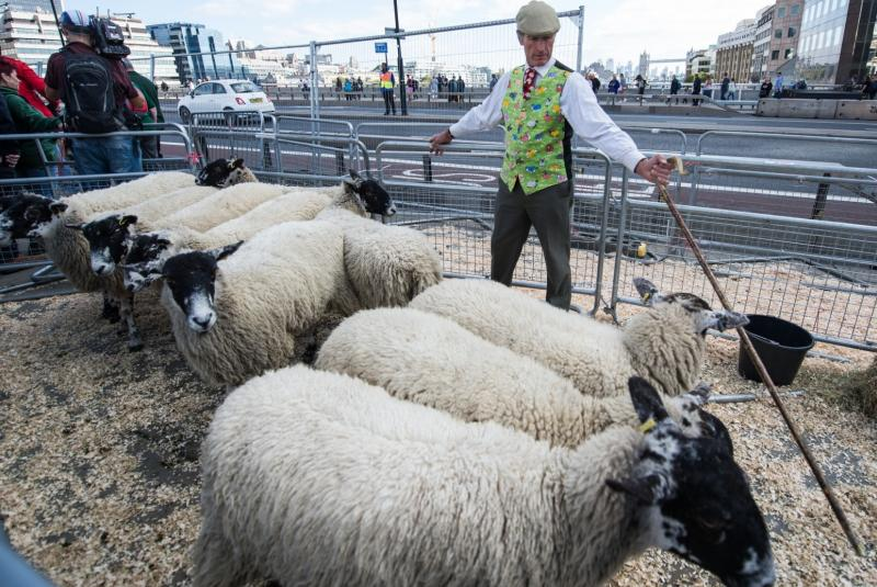 Thirty sheep are provided for the event by a Bedfordshire farmer