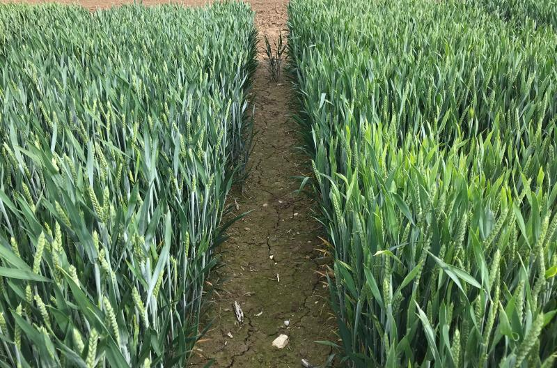 Under high BYDV pressure, RGT Wolverine (L) has significantly fewer symptoms compared with the control varieties