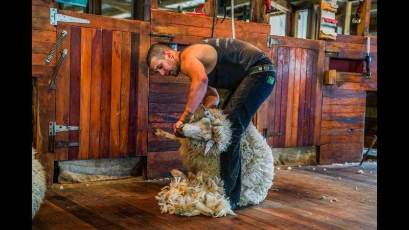 To break the current world record, Stuart must shear in excess of 868 lambs