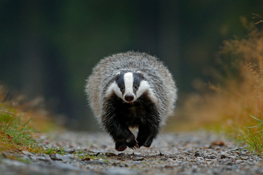 The funding is part of a badger pilot project involving the football club
