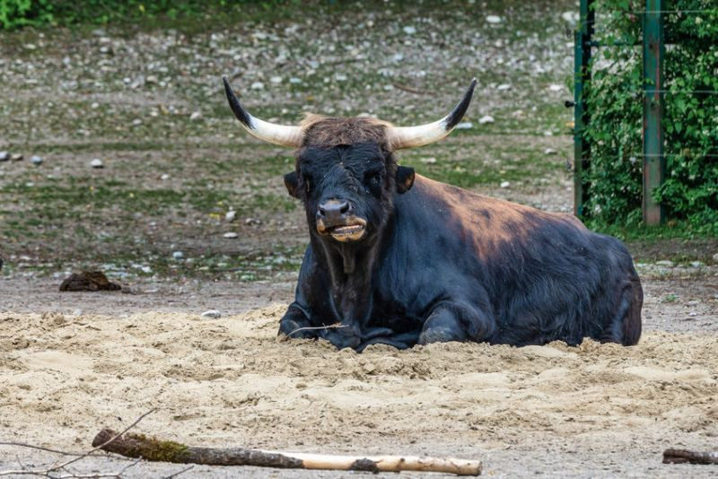 The farmer has taken 115 acres out of agricultural production and introduced the German-engineered Heck cattle to spearhead his new diversification plan