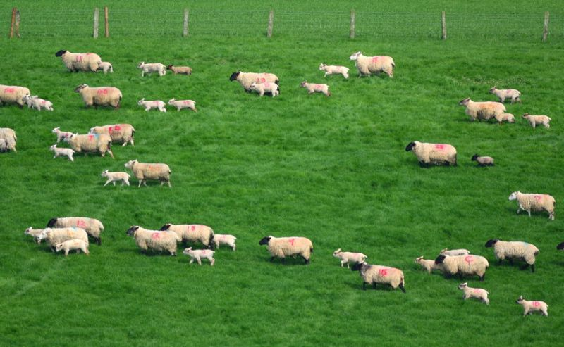 The new research is examining ways to breed and feed sheep with reduced environmental impact