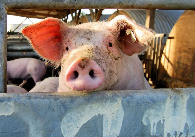 China's pig herd fell by half in the first eight months of 2019, according to new figures
