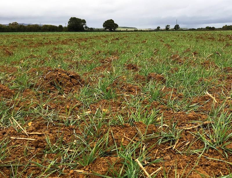 Well-developed blackgrass following first flush after wet conditions experienced in the West Midlands