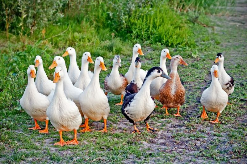 The French agriculture ministry said thousands of free-range ducks are to be culled following discovery of the disease