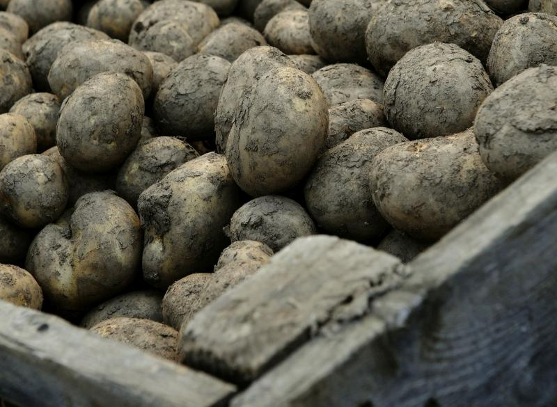 In the event of a no-deal Brexit, Scottish seed potatoes would be prohibited from entering the EU market