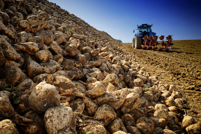 British Sugar is the sole processor of the UK's sugar beet crop
