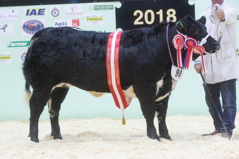 Stripe, the British Blue cross heifer, won last year's English Winter Fair title for Andrew Dickinson and Lisa Powdrill from Derby